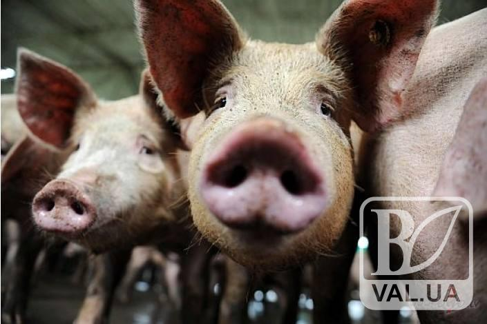 На Чернігівщині знову зафіксували африканську чуму свиней