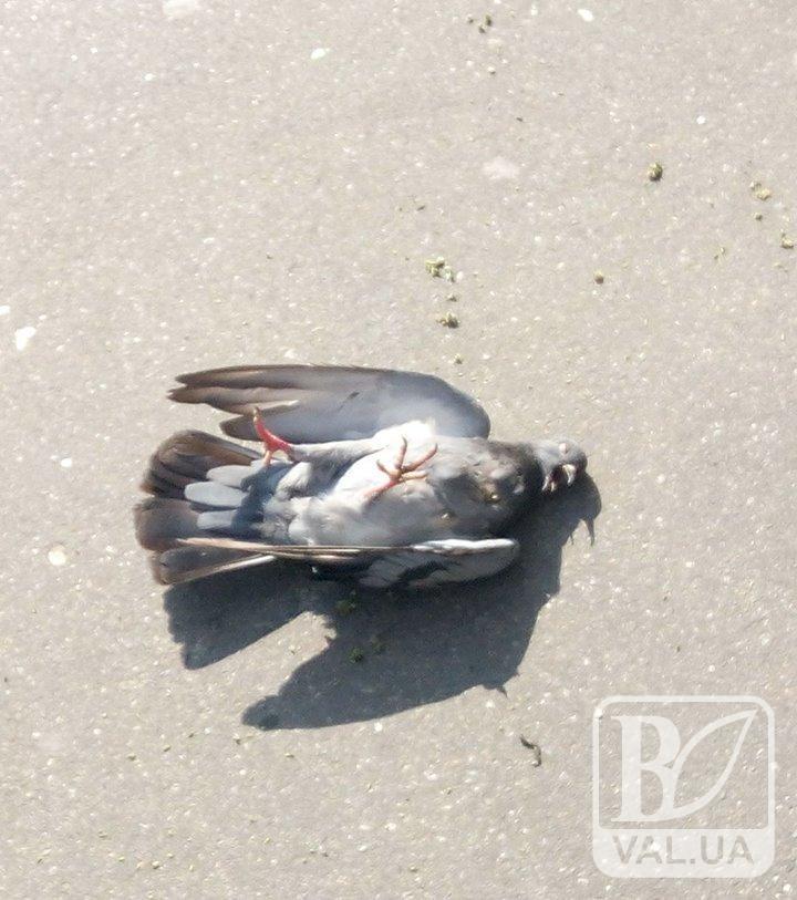 У центрі Чернігова невідомий снайпер розстрілював голубів. ФОТОфакт