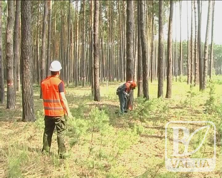 Китайці зацікавились деревиною із Чернігівщини. ВІДЕО