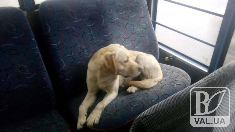 І в собаки свої справи: у Ніжині  пес  проїхався «зайцем» у маршрутці. ФОТОфакт