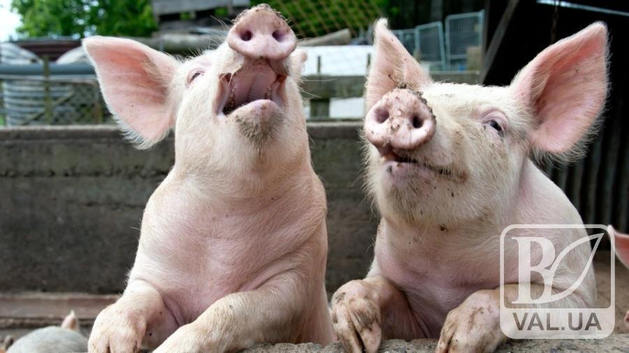 Чума свиней нарешті залишила в спокої Корюківку