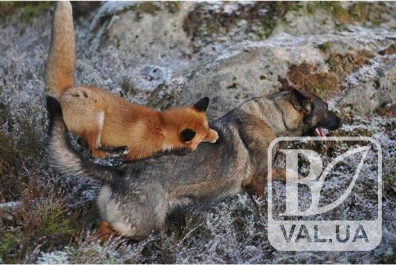 На Черниговщине бешеная лиса напала на собаку