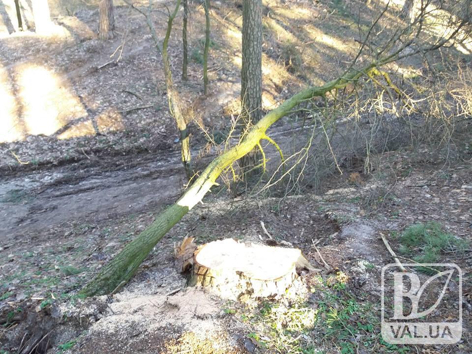 У лісі на Подусівці невідомі спиляли понад 60 дерев. ФОТО