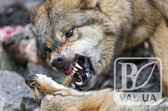 На Коропщині ввели карантин в зв'язку з нападом скаженої вовчиці