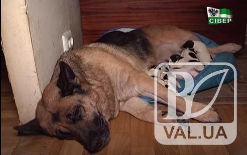 У Чернігові німецька вівчарка стала прийомною мамою для шести цуценят. ВІДЕО