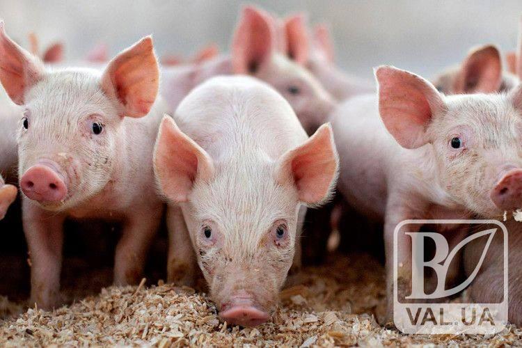 На Чернігівщині «африканська чуму свиней» вже добралась до приватних господарств