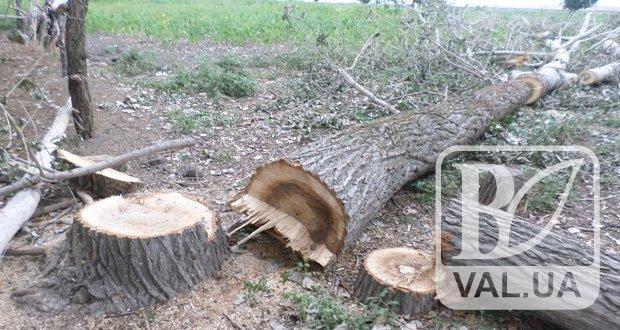 У Чернігові спиляють більше двох десятків дерев