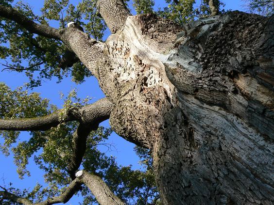 Лісник нарубав дубів на півтора мільйона