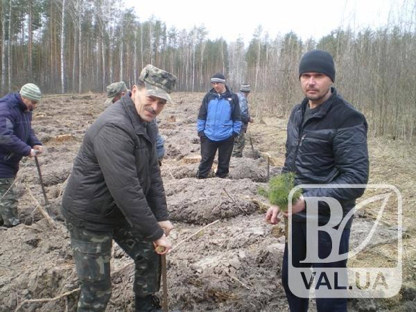 На Чернігівщині з`явився молодий сосновий ліс. ФОТО
