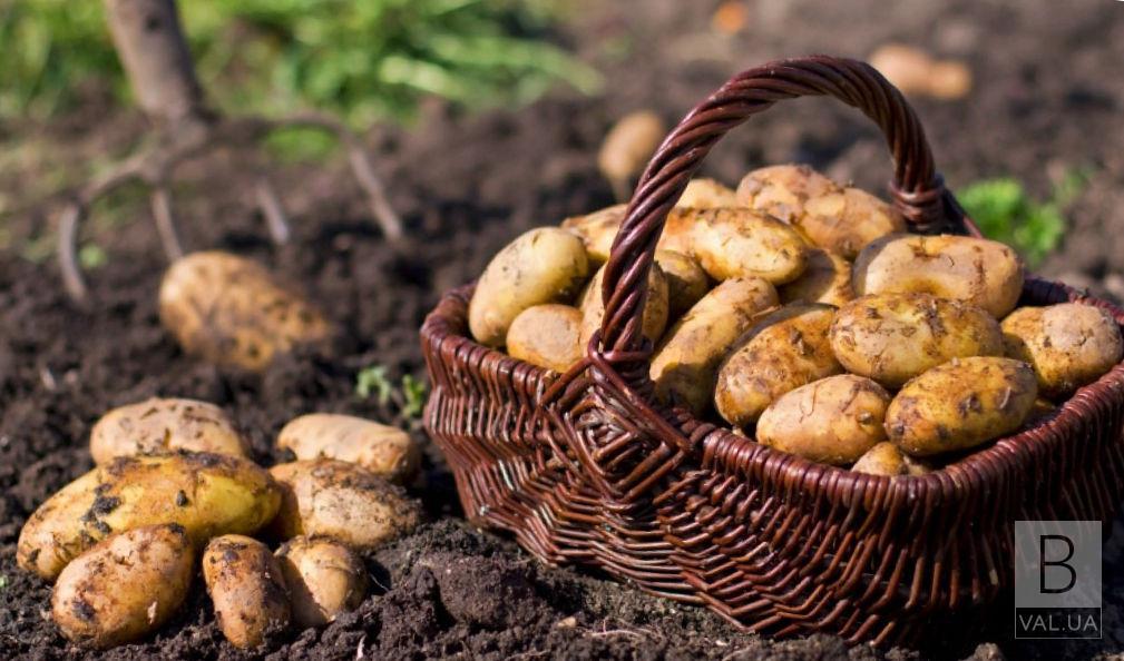 Врожай картоплі не вселяє оптимізму