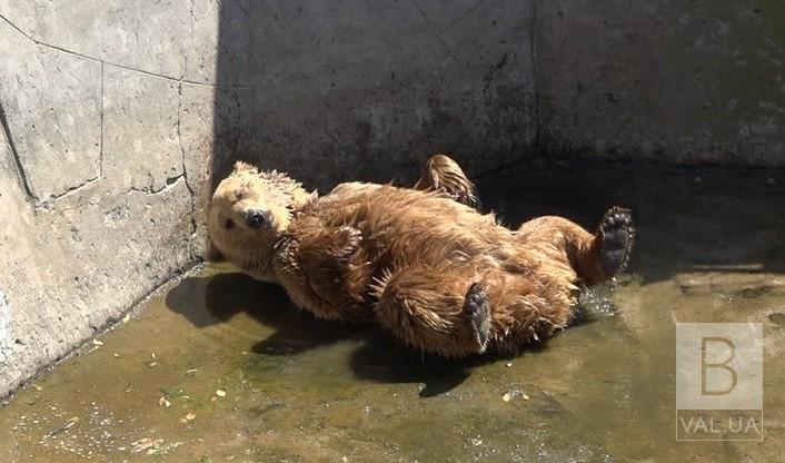 Ведмеді не виходять із лігва, тигри з'їдають менше м'яса: як в Менському зоопарку тварини переносять спеку ВІДЕО