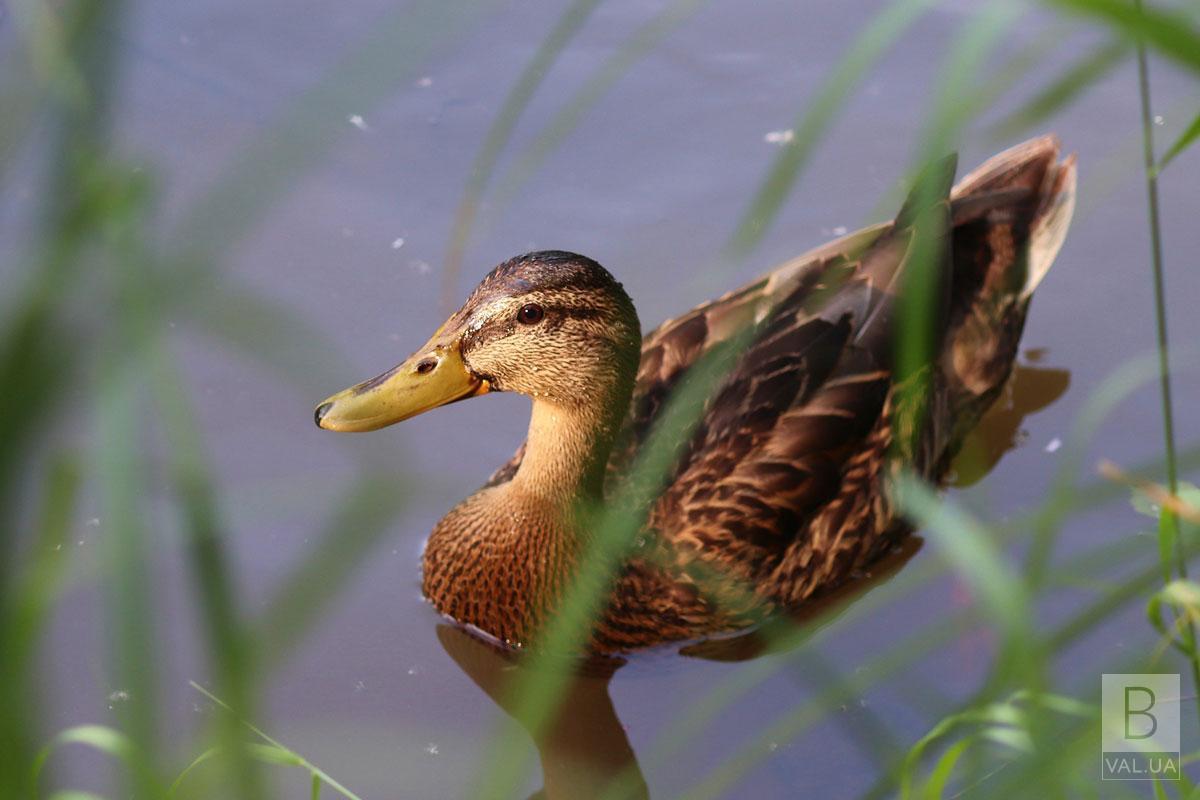 На Чернігівщині 7 серпня стартує сезон полювання на пернату дичину