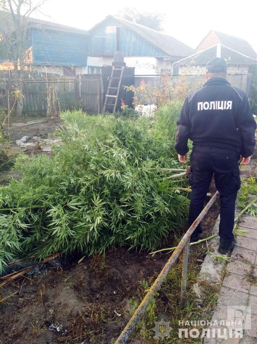 У Бобровиці поліцейські знищили незаконний посів двометрових конопель