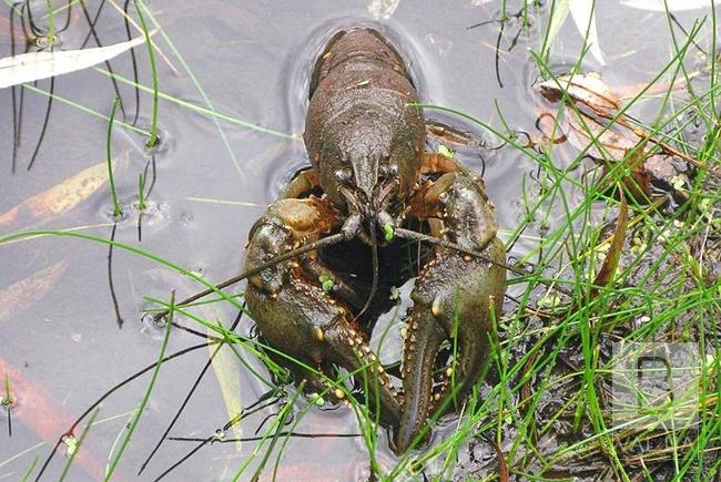На Чернігівщині з 21 вересня можна ловити раків