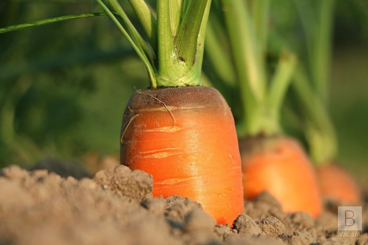 Рекордний овоч: на Прилуччині господиня викопала з грядки півкілограмову морквину