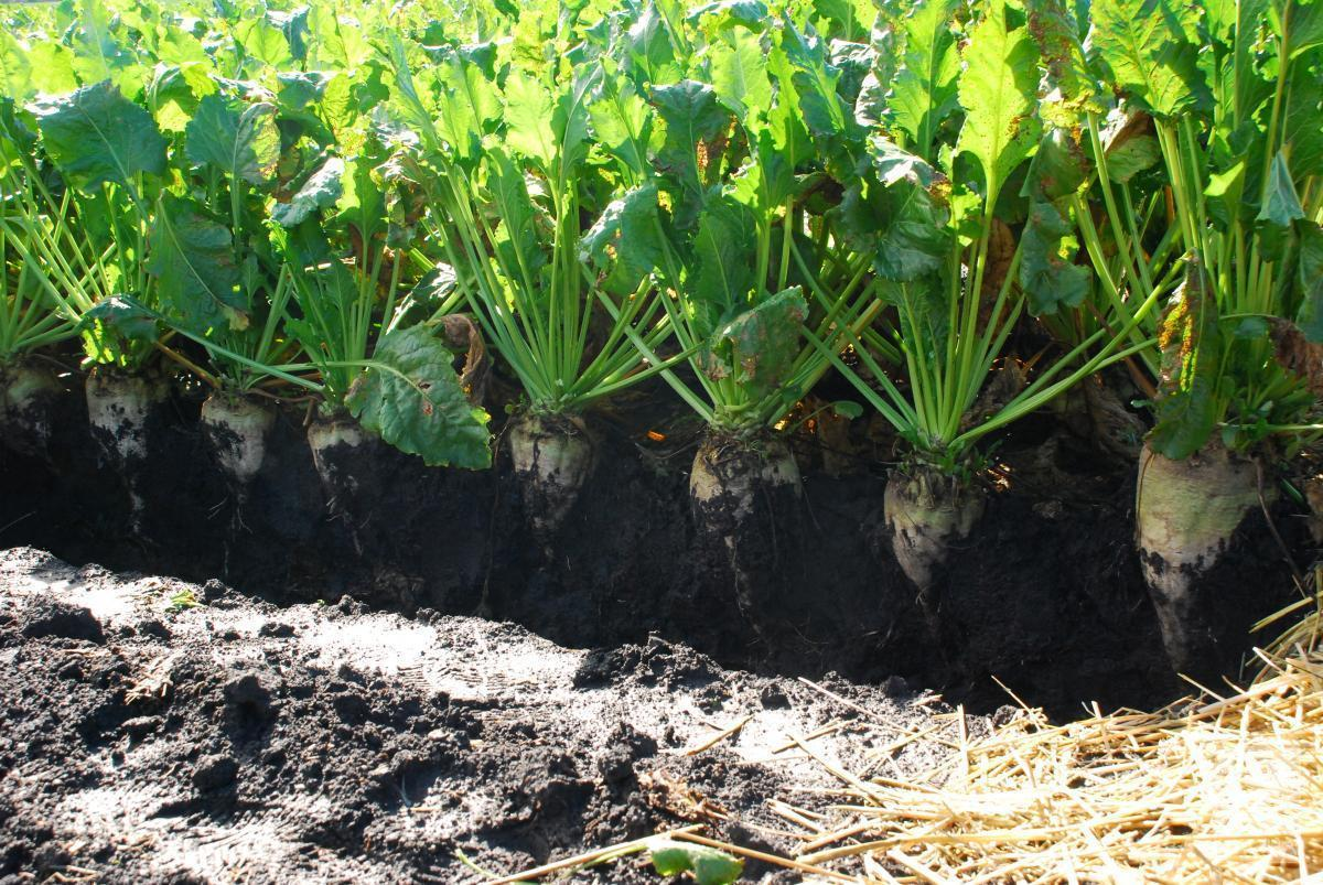 На Чернігівщині рекордно низька урожайність цукрових буряків