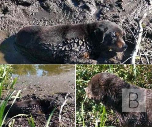 У Чернігівському районі врятували собаку, який застряг в болоті