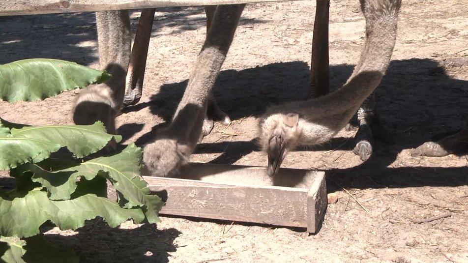 Один серед страусів: як живе єдиний житель хутора на Чернігівщині, якого нема на мапі ВІДЕО