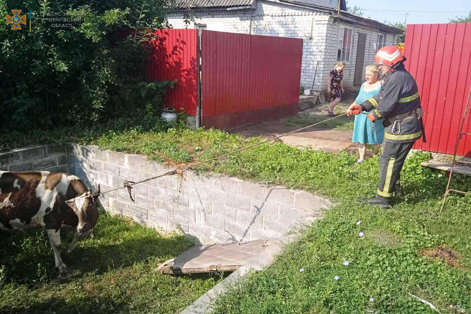 На Чернігівщині рятувальники вивільнили корову з півтораметрової ями. ФОТО