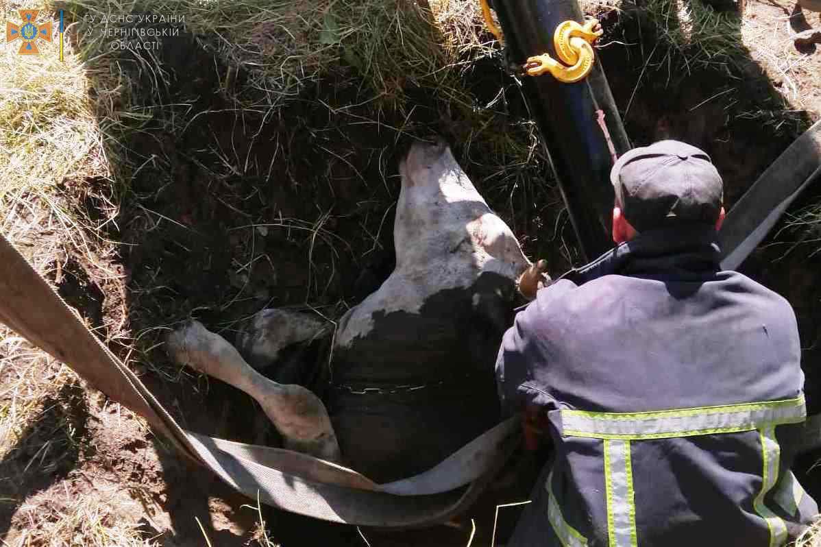 На Чернігівщині рятувальники вивільнили корову, яка провалилася в яму. ФОТО