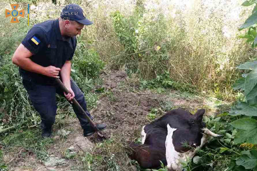 У Чернігівському району рятувальники визволяли корову, що провалилася у яму на пасовищі. ФОТО