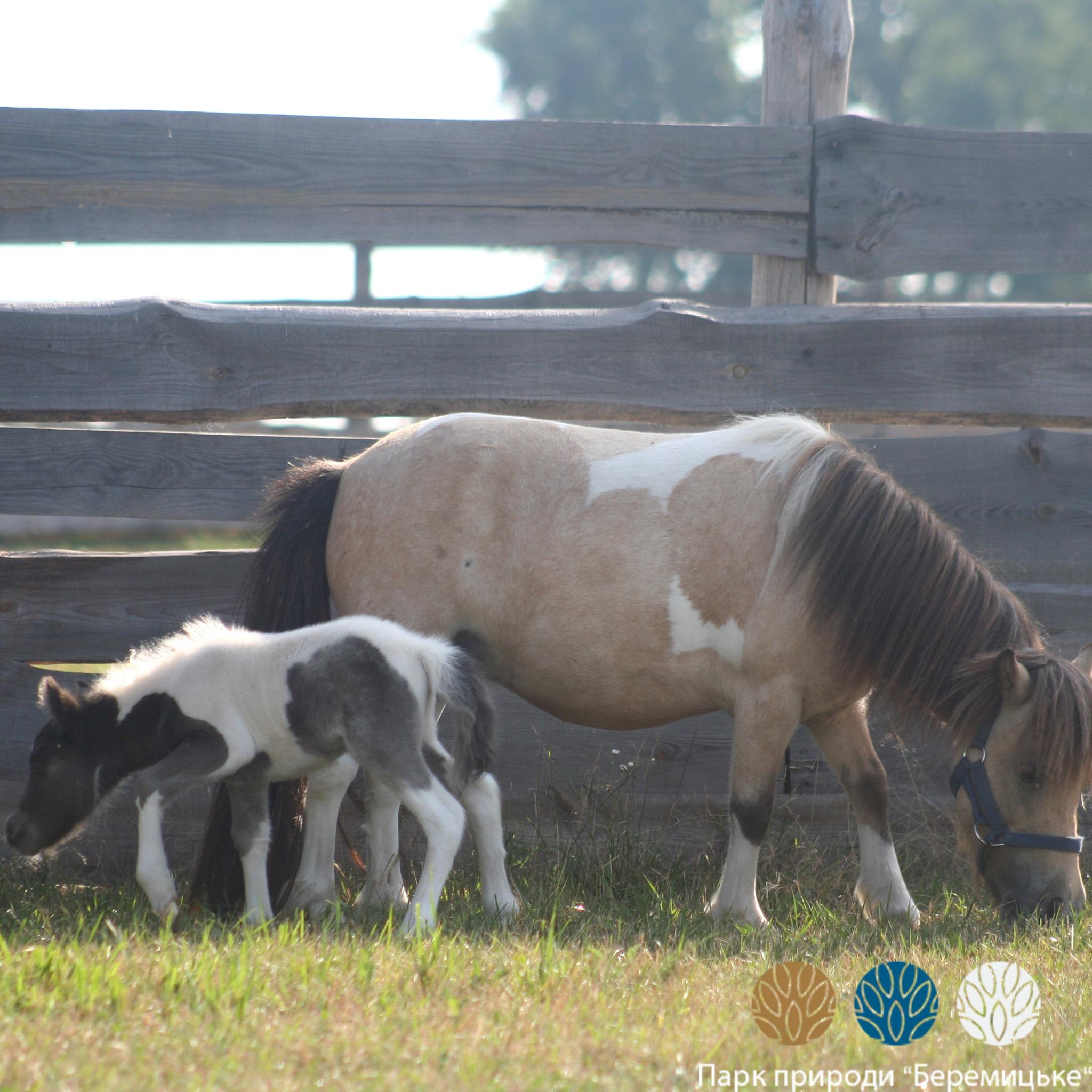 У Беремицькому в сімействі найменшої в світі породи коней народилося лошеня. ФОТО