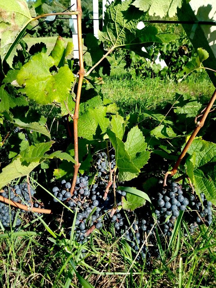 Під Черніговом відкрили крафтову виноробню. ФОТО