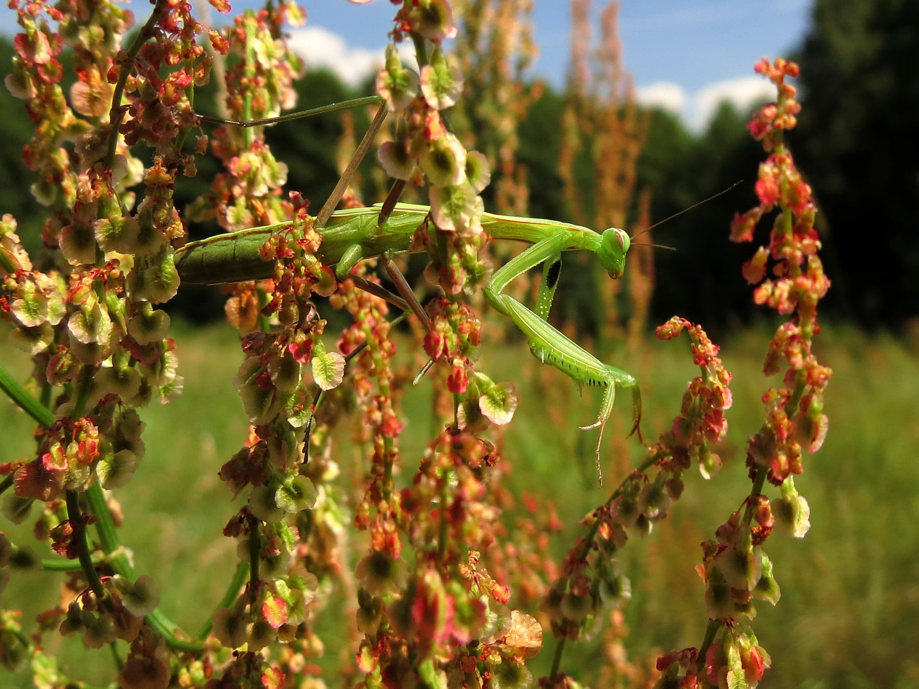 В ландшафтному парку «Міжрічинський» можна побачити незвичайну комаху. ФОТО