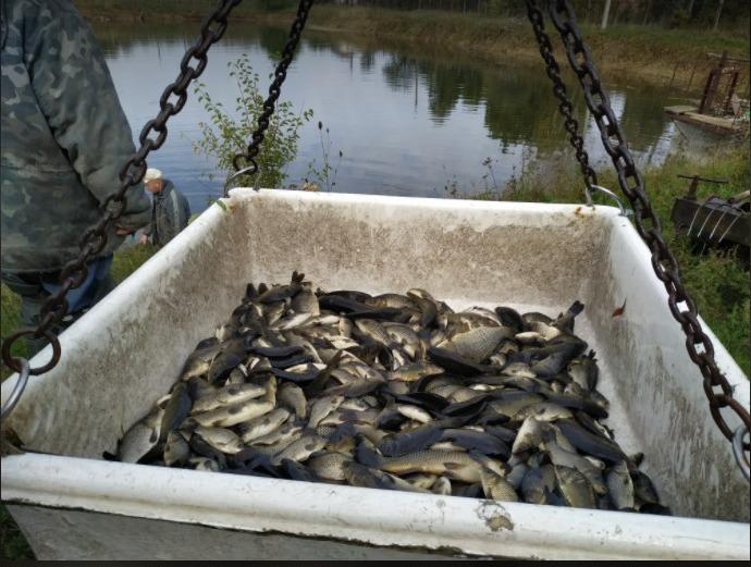 У Десну в районі «теплого каналу» випустили 150 кг молоді коропа. ФОТО