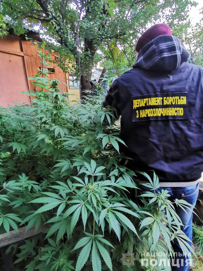 Дбайливо доглядав: 49-річний чернігівець вирощував коноплі у себе на подвір'ї. ФОТО