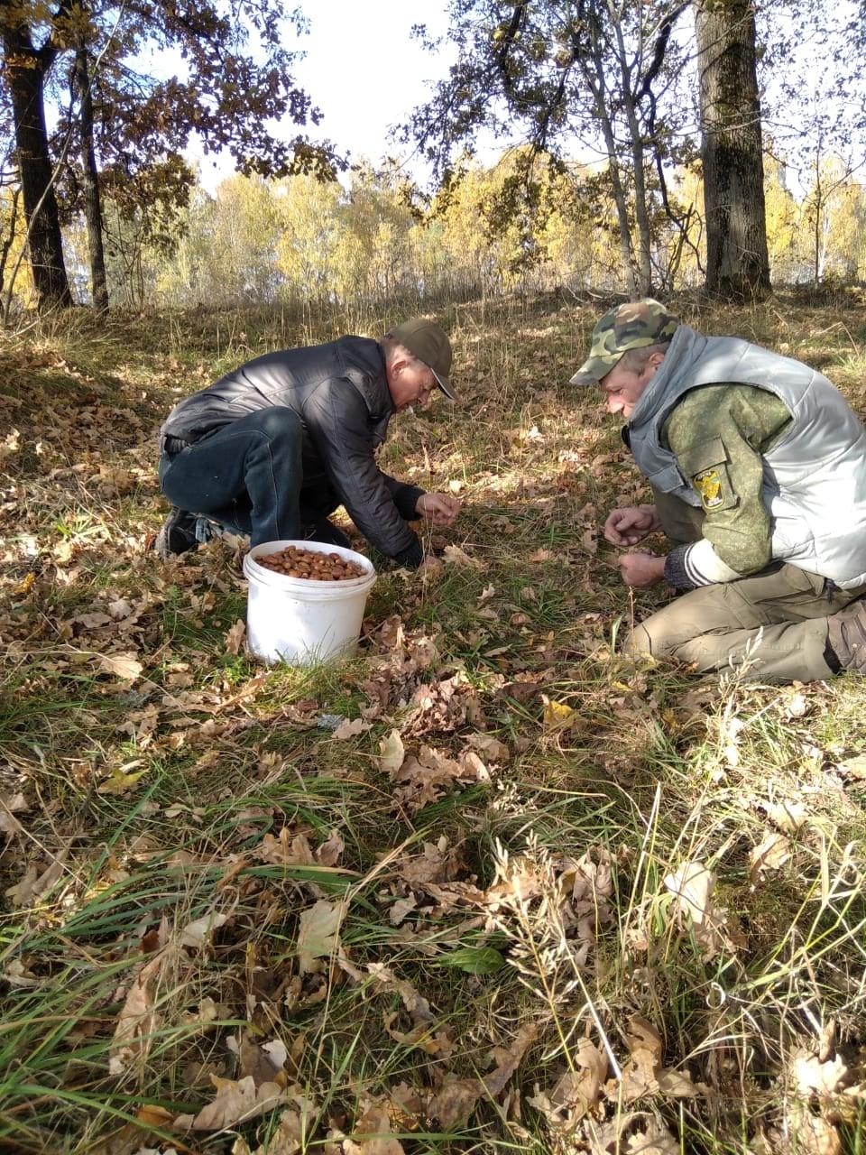 У лісництві на Чернігівщині збирають жолуді для посіву. ФОТО